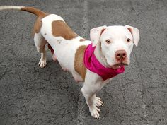 TO BE DESTROYED 5/15/14 Manhattan Center -P  My name is DUCHESS. My Animal ID # is A0998694. I am a female white and tan pit bull mix. The shelter thinks I am about 2 YEARS  *** RETURNED ON 5/13/14 ***  I came in the shelter as a RETURN on 05/13/2014 from NY 10305, owner surrender reason stated was PERS PROB.