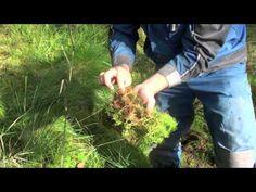 Мох сфагнум — свойства, применение, заготовка - Мох Сфагнум (Sphagnum) для Ваших цветов и комнатных растений
