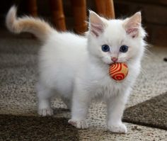Top 5 White Cute Cats