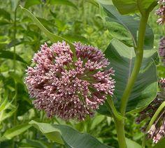 Plant milkweeds to save the Monarchs