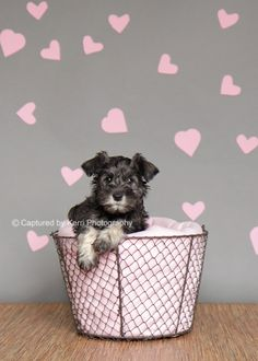 Cute idea for pet photos on Valentine's Day:) Sookie by Captured by Kerri Photography #Miniature #Schnauzer