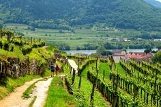 Hiking the beautiful Wachau World Heritage Trail in the heart of Lower Austria's wine country along the gorgeous Danube River.