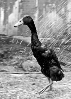 Ming the Indian runner duck.