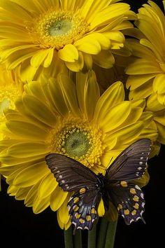 Beautiful Bugs, Beautiful Butterflies, Amazing Flowers, Beautiful Roses, Butterfly Wallpaper, Butterfly Flowers, Blue Butterfly, Sunflowers And Daisies, Yellow Daisies