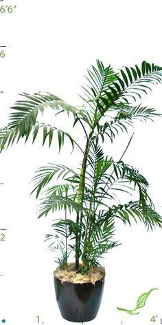 must get a good palm Bamboo Palm, Best Indoor Plants, Air Pollution, Tropical Plants, Ikebana, Garden Plants, Bonsai, Different Colors, Gardening