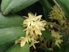 Arpophyllum Alpinum   ORQUIDEAS MEXICANAS: Myoxanthus congestus