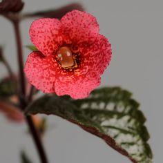 Hybridization xAchimenantha | Gesneriaceae Cultivation Hybridization
