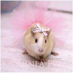 Guinea Pig Guinea Pigs, Tutu, Animals, Life, Ballet Skirt, Animales, Animaux, Tutus, Animal