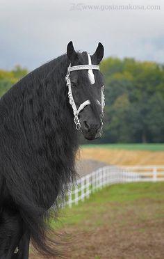 friesian stallion Timo