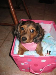 A girlfriend = like this ladies Layla - long haired miniature dachshund