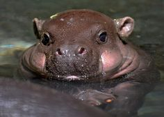 baby pygmy hippo...cherries!!