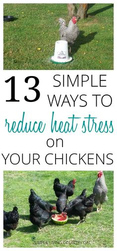 Keeping chickens cool in the extreme heat will not only ensure your hens stay healthy and worm free but will keep those eggs coming all summer long! via @SLcountrygal