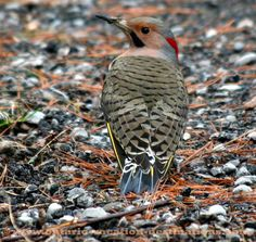 Ontario Birds, Flicker hunting ants For more Ontario images, visit http://www.ontario-vacation-destinations.com