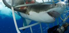 My Close Encounter with a Great White Shark #scuba #cage #diving…