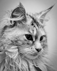 Maine Coon by Nicholas Erwin, via Flickr