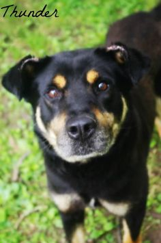 FOUND IN YOUNGSTWN, OHIO...NOW ADOPTABLE!!! Meet Thunder, a Petfinder adoptable Rottweiler Dog   Youngstown, OH   Petfinder.com is the world's largest database of adoptable pets and pet care information....