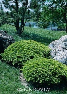 The importance of evergreen shrubs in your mixed border Perennial Garden Plans, Garden Shrubs, Landscaping Plants, Front Yard Landscaping, Shade Garden, Landscaping Ideas, Colorado Landscaping, Modern Landscaping, Yew Shrub