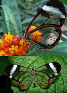 "There's a butterfly that has translucent wings--naturally, it's called the Glasswing Butterfly (espejitos, which means ""little mirrors"" in Spanish).  It can carry nearly 40 times its own weight--way more than the ant which is renown for its strength. And consider yourself lucky if you see one in flight--they stay mostly in Central America, although they've been known to fly into Florida on occasion."