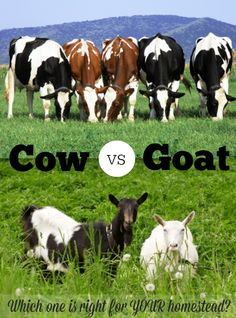 Cow VS Goat: Which one is right for YOUR homestead? I like this post because it weighs out the pros and cons of each. #cow #goat #homedairy
