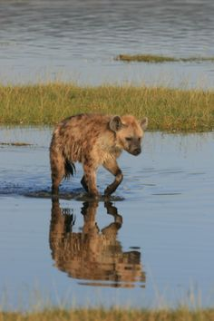Spotted Hyena hunting flamingos, Lake Nakuru, Kenya by Richard Ainsworth