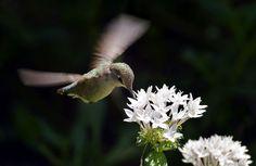 Female Costa's Hummingbird in flight feeding on Pentas lanceolata. Wings of the Tropics, Fairchild Tropical Botanic Garden.