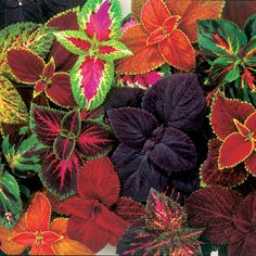 Coleus Giant Exhibition Mix (mezcla)