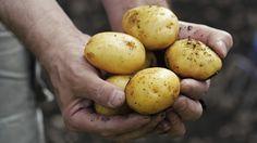 Kartoffel kann man im Beet oder auch in einem Eimer leicht selbst anbauen. (Quelle: Thinkstock by Getty-Images)