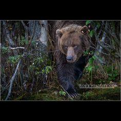 The Stalker  Coastal Brown Bear Alaska  Some of my Favorite images I have take over the years - http://ift.tt/RWRUZt  #Africa #RobsWildlife #Nature #PhotoSafari #WildPlanetCover #Wyoming #Utah #Montana #California #Animals #Art #WildlifeArt #WildAnimals #Whale #Eagle #Bear #GrizzlyBear #BlackBear  http://ift.tt/1GIV8Bf  http://ift.tt/1VlUBxV