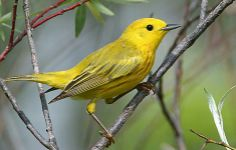 Yellow Warbler - I see one of these in a particular willow shrub behind my house every spring. I see it for only one or two days, and always while I am in the shower, so that I never have a pair of binoculars handy. Very pretty, and they have a lovely song!
