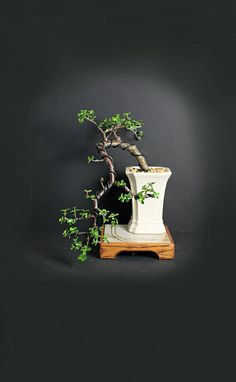 Dwarf Jade bonsai tree, succulent bonsai collection from LiveBonsaiTree by LiveBonsaiTree on Etsy