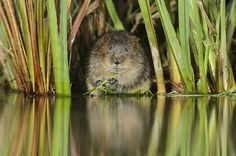 "Photograph: Terry Whittaker/2020VISION/Rex Features   — ""A watervole, captured as part of the 2020VISION initiative. The UK's best nature photographers, along with filmmakers and sound recordists, have captured a library of images and other media, telling the story of the UK's ecosystems. A selection of these images are due on show for the first time at the Royal Botanic Garden Edinburgh""   — From The Guardian"