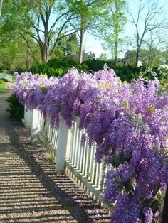 wisteria covers a white picket fence