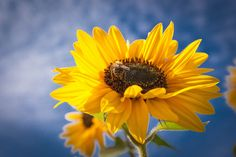 Sonnenblume mit Biene | da mirko.borgmann