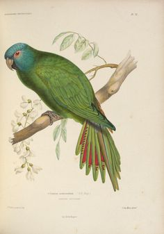 Iconographie ornithologique : - Biodiversity Heritage Library