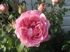 """"""" Radio Times """" (AUSsal) - Shrub rose - Strong, old rose fragrance - David C.H. Austin (UK), 1994"""