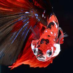 peces Visarute Angkatavanich 9
