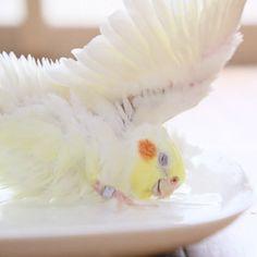 Cockatiel bath time!!