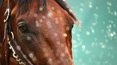 Dortmund won't be around for this one, but a familiar cast of are lining up as potential spoilers when American Pharoah attempts to win the Belmont Stakes and give thoroughbred racing its first Triple Crown winner in 37 years. The Belmont Stakes, Preakness Stakes, Derby Horse, Triple Crown Winners, Derby Winners, American Pharoah, Reportage Photo, Baby Horses, Racehorse