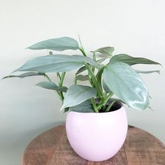 Philodendron Hastatum is very rare and unusual philodendron with silver, almost metallic-looking foliage.Philodendron hastatum is great indoor plant. Rare Plants, Potted Plants, Indoor Plants, Foliage Plants, Indoor Cactus, Leafy Plants, Cactus Cactus, Bedroom Plants, Cactus Y Suculentas