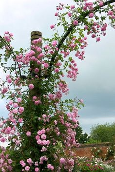 Climbing rose - wish we could grow roses like that.
