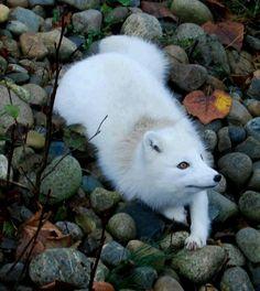 Arctic fox.