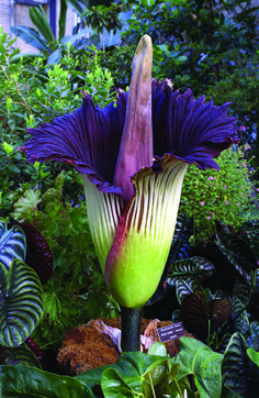 The titan arum (or stink plant) http://www.howitworksdaily.com