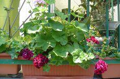 Geranium in my favorite colour