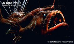 Anglerfish videos, photos and facts - Lophius piscatorius | ARKive