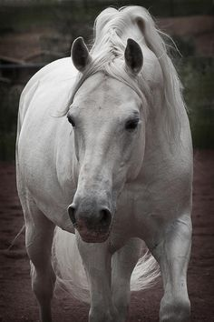 Lipizzan stallion ~ Maestoso II Ambrosia by Wes and Dotty Weber All The Pretty Horses, Beautiful Horses, Animals Beautiful, Beautiful Creatures, Horse Photos, Horse Pictures, Equine Photography, Animal Photography, Lipizzan