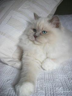 Mink Ragdoll Catteries   lilac mink ragdoll breeding ragdoll cats that rock your world 540 484 ... #catsbreedsragdoll