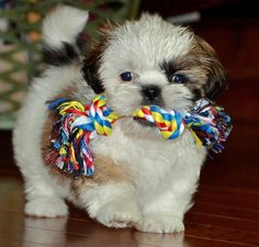 The Adorable and Cute Shih Tzu Puppy with Chew Toy