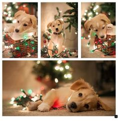 Some Helpful Ideas For Training Your Dog. Loving your dog does not mean you are willing to let him go hog wild on your possessions. That said, your dog doesn't feel the same way. Dog Christmas Pictures, Christmas Puppy, Christmas Animals, Christmas Card Photo Ideas With Dog, American Bulldog Puppies, Photos With Dog, Shooting Photo, Puppy Pictures, Pictures Of Dogs