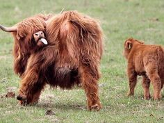 Keep yourself clean (scottish highland cattle)