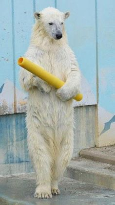 What do polar bears eat? In this article we are going to focus on the types of food that polar bears eat in the wild as well as in captivity. Animals Of The World, Animals And Pets, Funny Animals, Cute Animals, Beautiful Creatures, Animals Beautiful, Baby Polar Bears, Love Bear, Animal 2